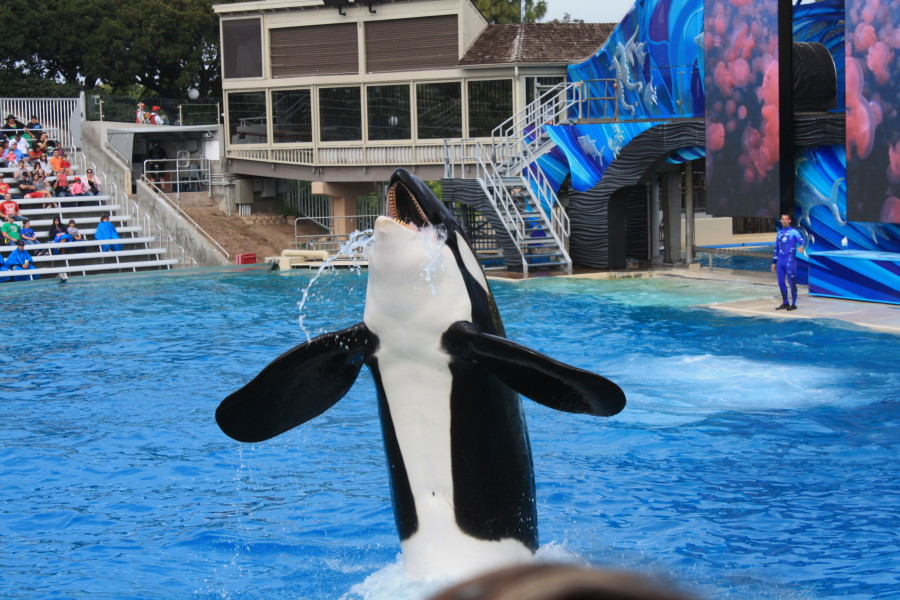 Shamu showing off!