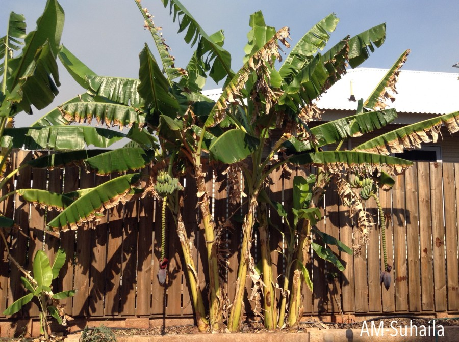 Beautiful Banana tree within Derby's residential vicinity